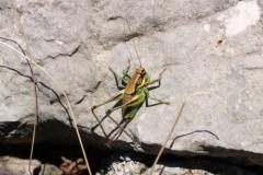 4 cm velká kobylka