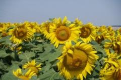 1.den- Slunečnice v Dolním Rakousku
