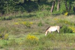 Koňe v lese u Tennenlohe