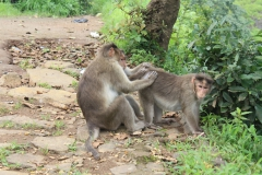 Opice si hledají blechy