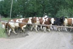 Málem jsem narazil do krav, když jsem jel z kopce