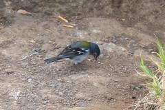 Pěnkava - jeden z mála ptáků na ostrově