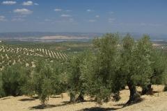 Olivové háje poblíž vesničky Arjona