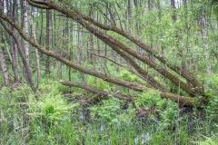 Bažina nebo prales?