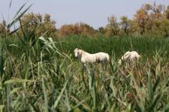 Volně žijící koně v oblasti Camargue