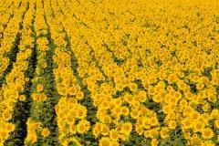 Pole plné slunečnic